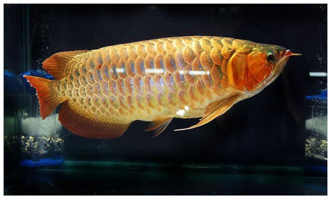 jenis ikan arwana golden red