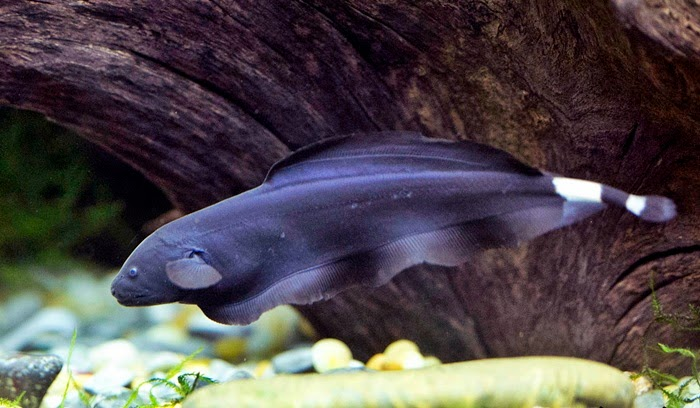 Ikan Black Ghost (Apteronotus Albifrons)