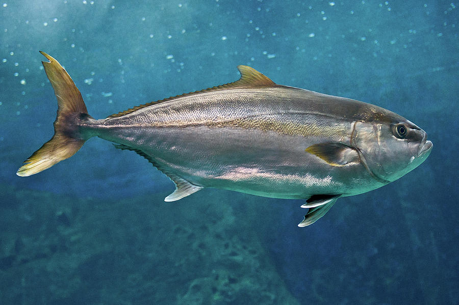 Jenis Ikan Laut - Ikan Amberjack