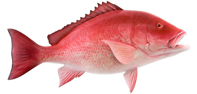 Jenis Ikan Laut - Ikan Kakap