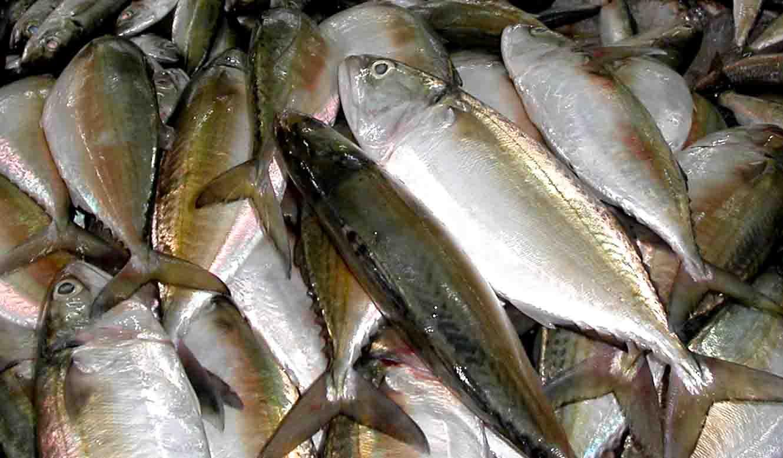 Jenis Ikan Laut - Ikan Kembung