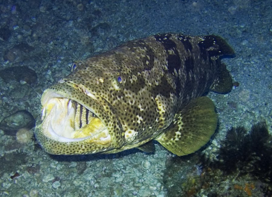 Jenis Ikan Laut - Ikan Kerapu