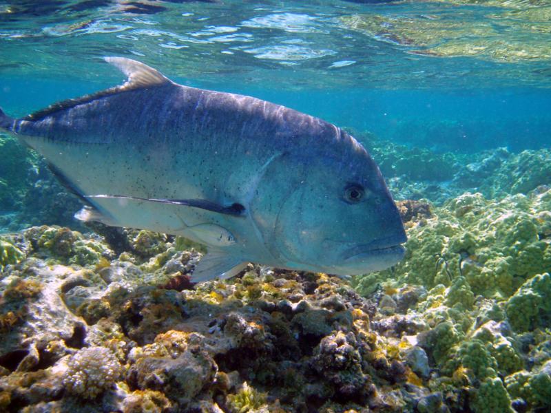 Jenis Ikan Laut - Ikan Kuwe