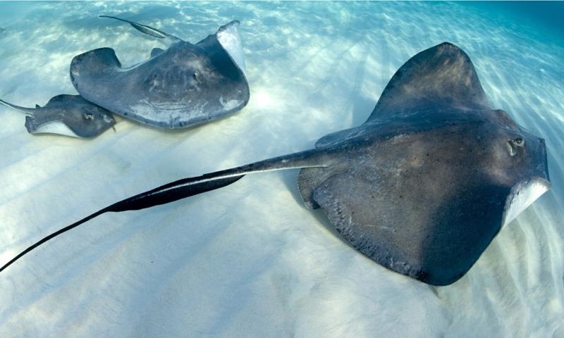 Jenis Ikan Laut - Ikan Pari