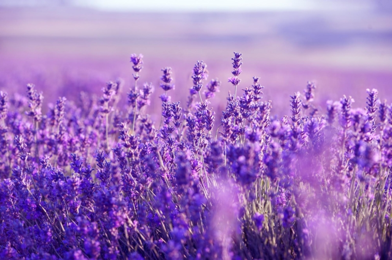 Warna Ungu Pekat Menjadi Ciri Khas Jenis Bunga Lavender