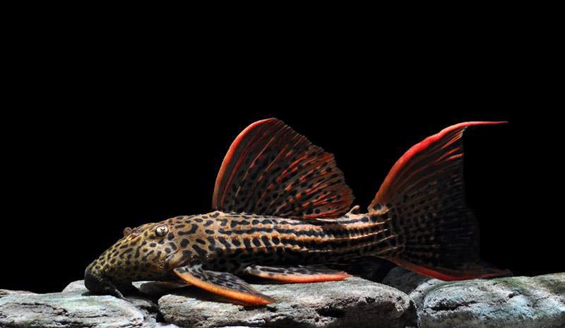 Ikan Sapu-Sapu Scarlet Pleco