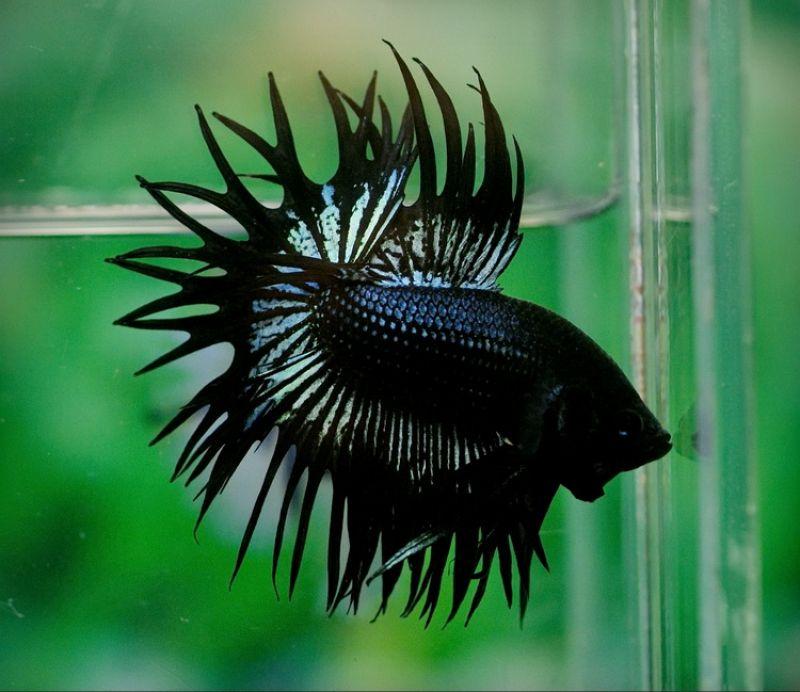 Jenis Ikan Cupang Crown Tail (Serit)