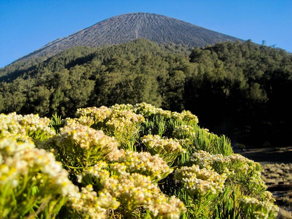 Bunga Edelwesi Gunung Semeru