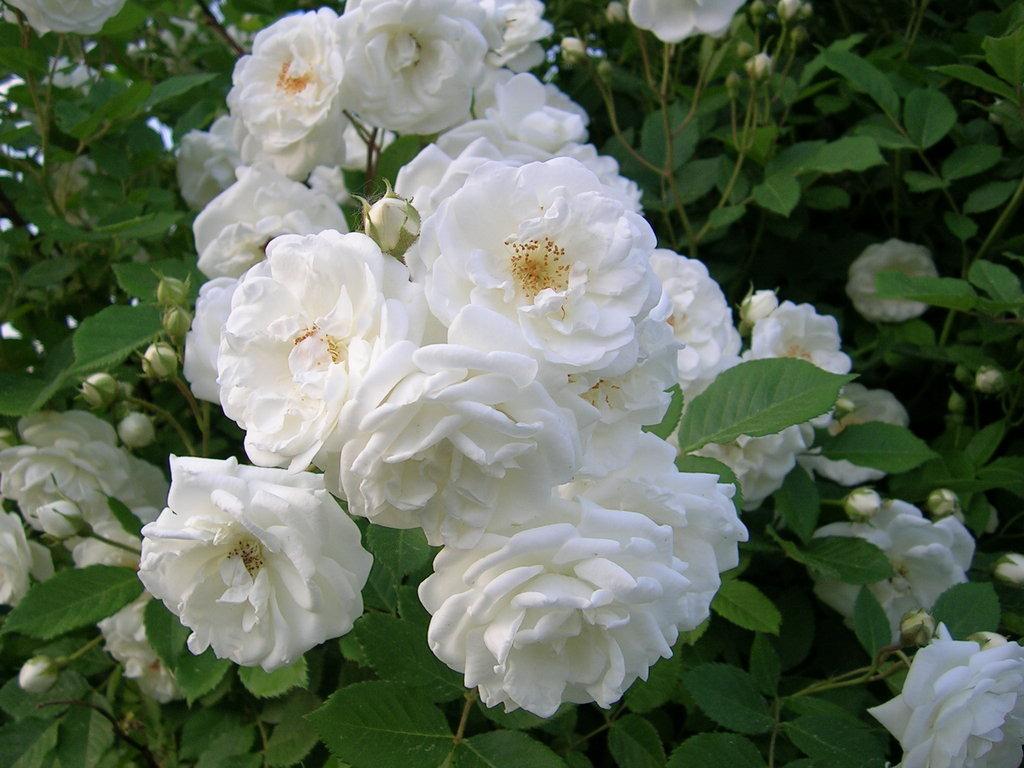 Bunga Mawar Taman Kuno