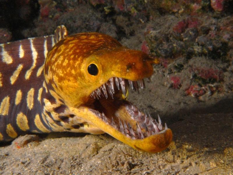 Ikan Moster - Belut Moray