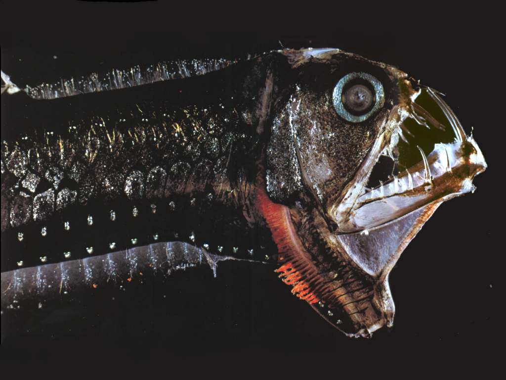 Ikan Monster - Viper Fish
