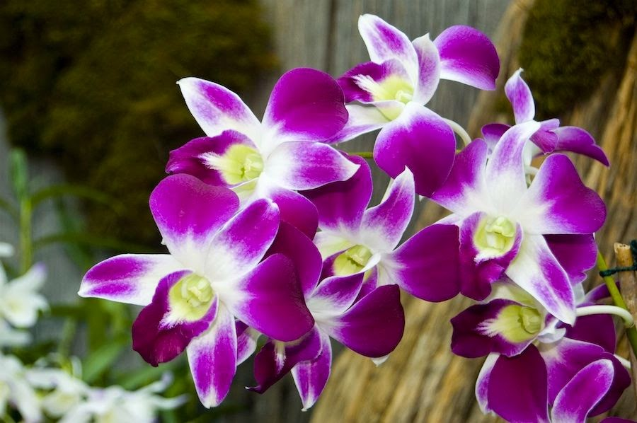 Jenis Bunga Anggrek
