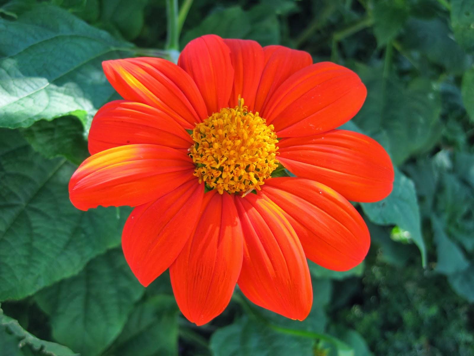 Jenis Bunga Matahari Fiesta Del Sol atau 'Torch' Mexican Sunflower