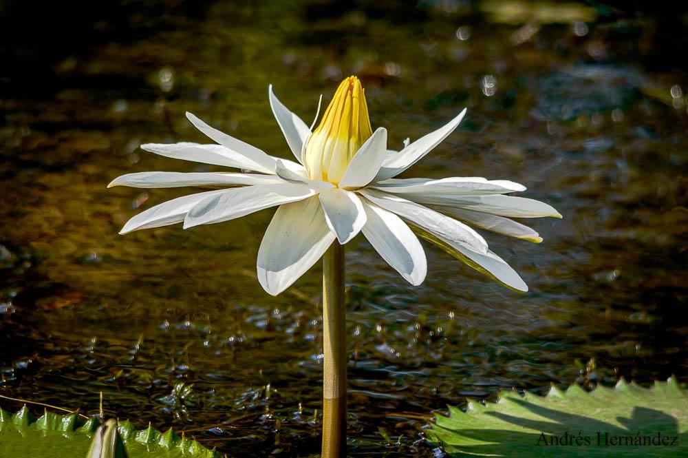 Jenis Bunga Teratai Nymphaea Ampla yang Amat Cantik