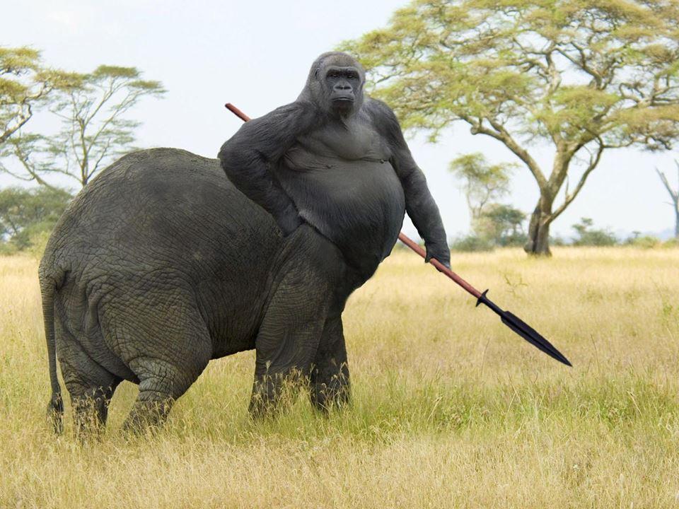 gorilla-bertubuh-gajah