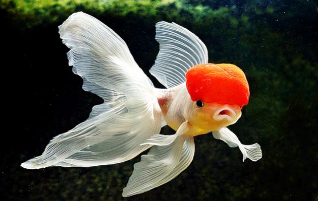 Jenis Ikan Koki Tercantik