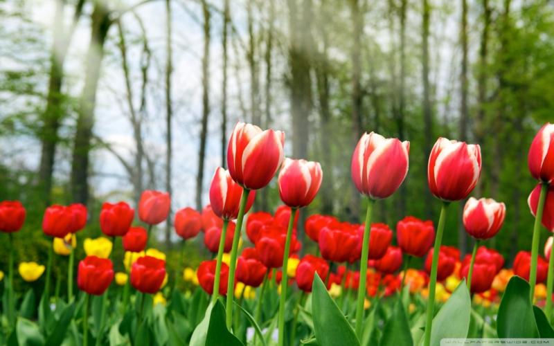 Cantiknya Gambar Jenis Bunga Tulip Dari Berbagai Taman Di Dunia